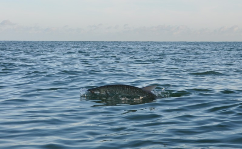 Tarpon breaking the surface