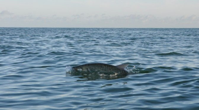 Summer Silver – The end of Tarpon season