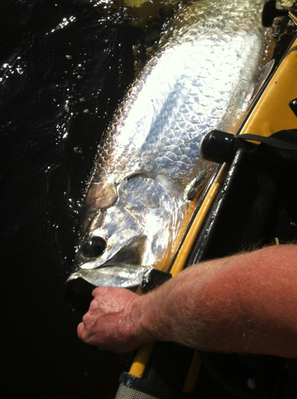 Tarpon along side the Kayak